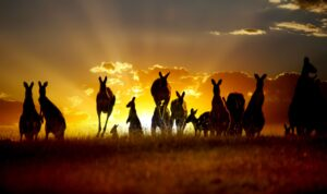 "Alt=""Kangaroos at dusk near a road"""