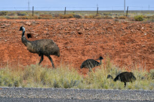 "alt=""Emus on the roadside"""